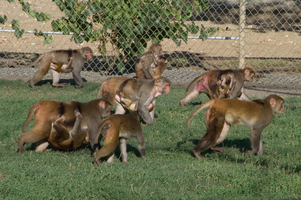 Rhesus monkeys socializing