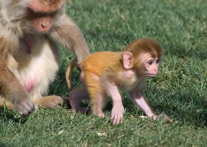 Rhesus mom and baby