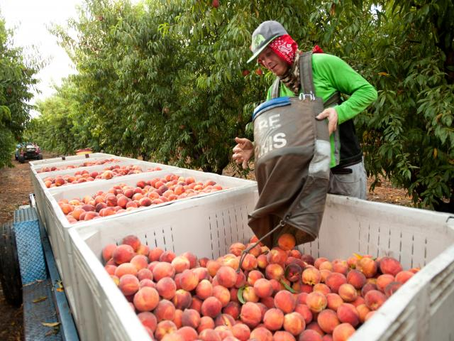 Worker picking nectarines