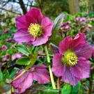 Hellebore flowers, which are poisonous