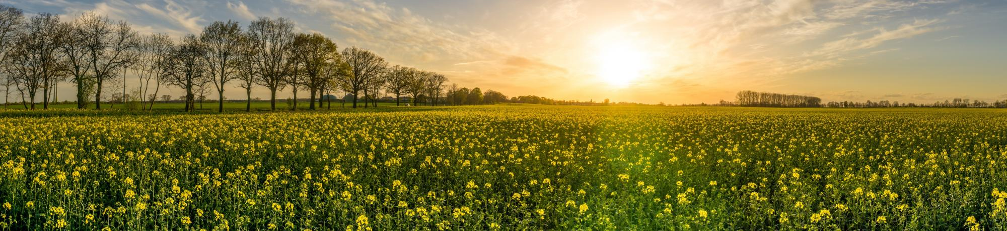 Sunrise over a Central Valley field of mustard